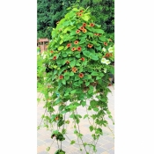 Thunbergia vine in an outdoor hanging planter (planter is 18 inches wide)